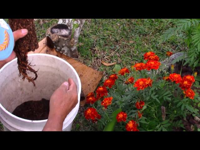 Trồng Trọt ở Mỹ: Trồng Cây Bông Hồng Làm Đẹp Sân Nhà P1 - NVTC2