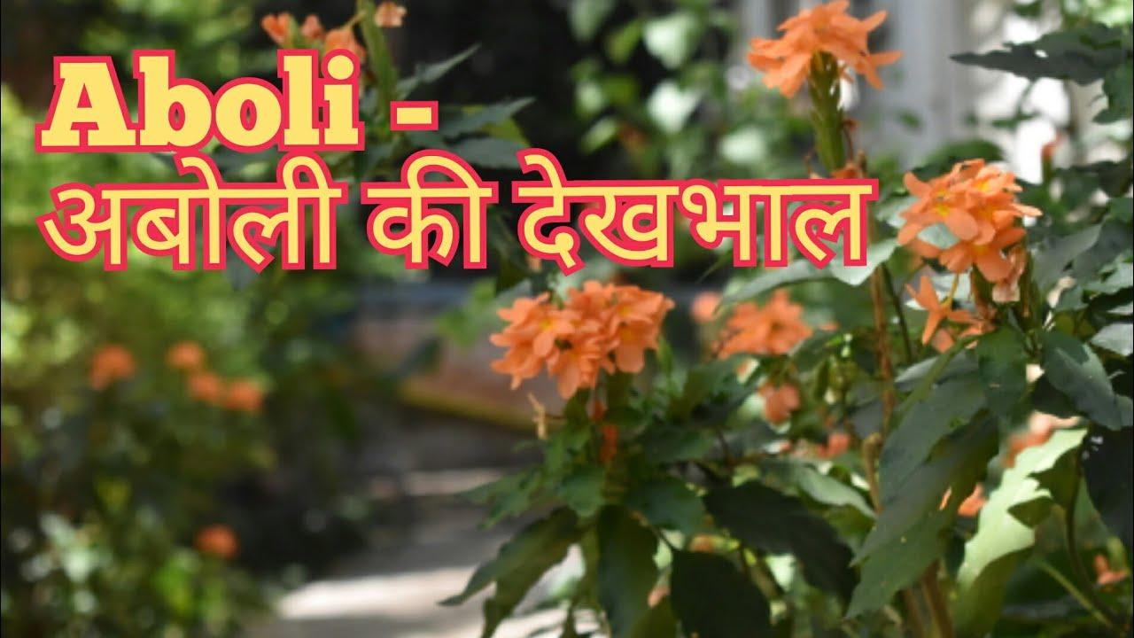 Aaboli OR Firecracker Flowers