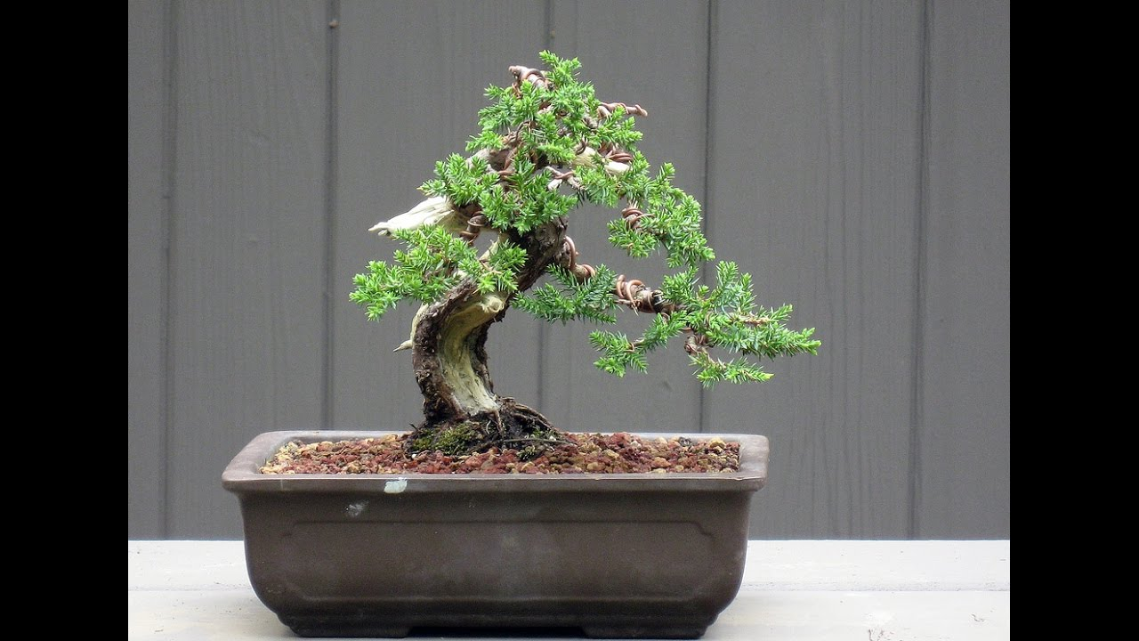 Specific Bonsai Care Guidelines For The Juniper