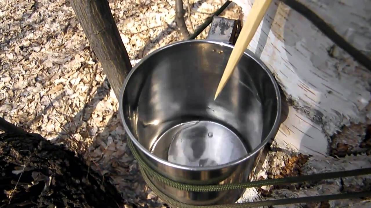 Image result for birch sap