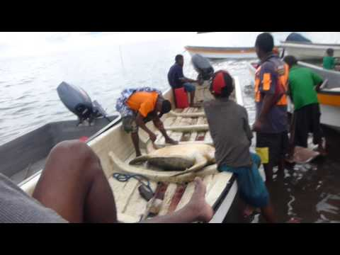 Turtle Slaughter Trobriand Islands Papua New Guinea