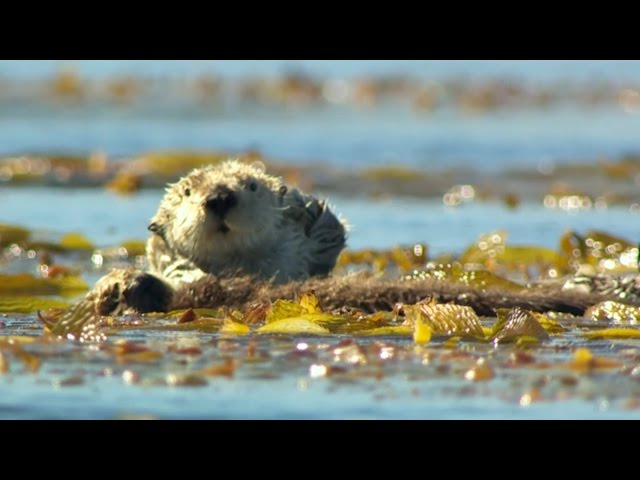 Sea Otter struggles to protect her pup – Big Blue Live: Episode 1 – BBC One