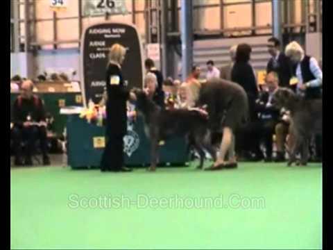 Crufts 2008 Deerhound Open Dog Video