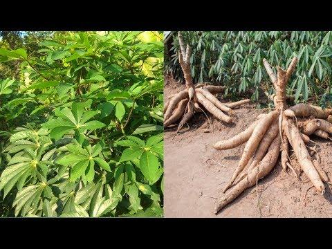 casava-garden---organic-tapioca-cultivation---topioca-flour-made-from-casava