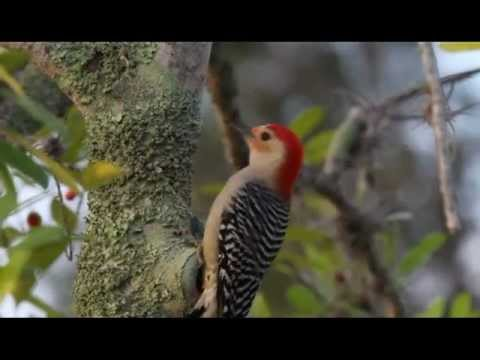 Red-bellied Woodpecker (with sound)
