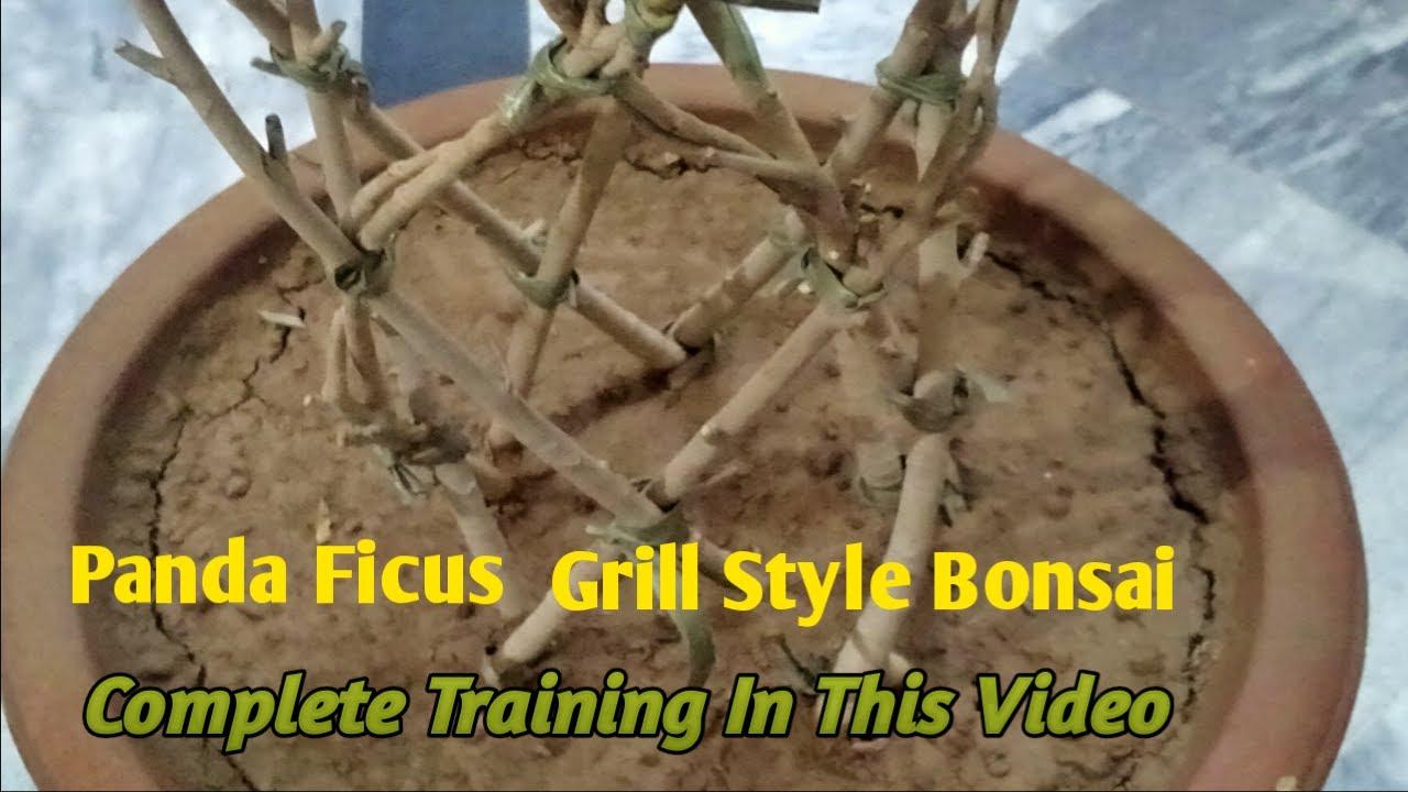 How To Make Panda Ficus Bonsai Grill Design Bonsai Bonsai Complete Training In One Video Length Youtube