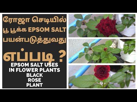 ரோஜா செடியில் பூ பூக்க Epsom Salt பயன்படுத்துவது எப்படி| Epsom Salt Uses In Flower Plant |