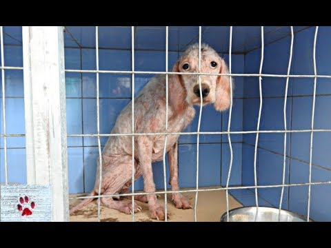 Transformation of an English Setter found abandoned and sick