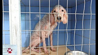 transformation-of-an-english-setter-found-abandoned-and-sick