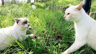 【猫の喧嘩】上機嫌でモフられに来た白猫、縄張りに侵入したシャム猫に激怒する