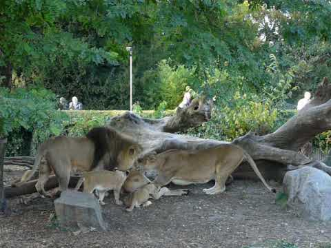 A pride of lions eating eland