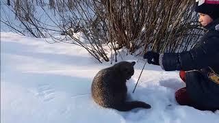 Британский кот первая прогулка зимой. Как гулять с котом зимой