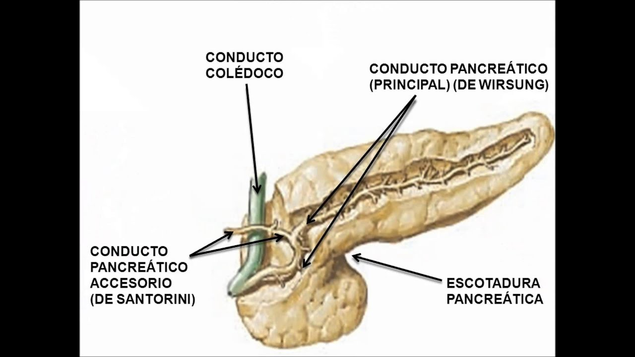 Anatomía e Histología de El Pancreas - YouTube