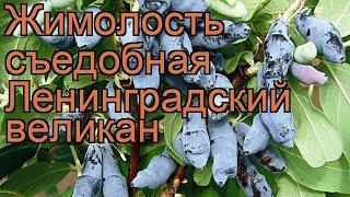 Жимолость съедобная Ленинградский великан ???? обзор: как сажать, саженцы жимолости