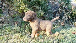 Chesapeake Bay Retriever Puppies at Wildbrook Kennels (4K)