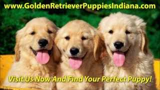 Golden Retriever Puppies For Sale In Indiana - See Video!