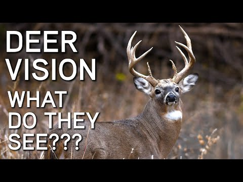 Deer Vision | How It Works And What They See | Deer Hunting Tips