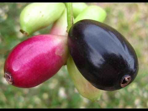 Growing Jamun Plant from seed and its transplantation