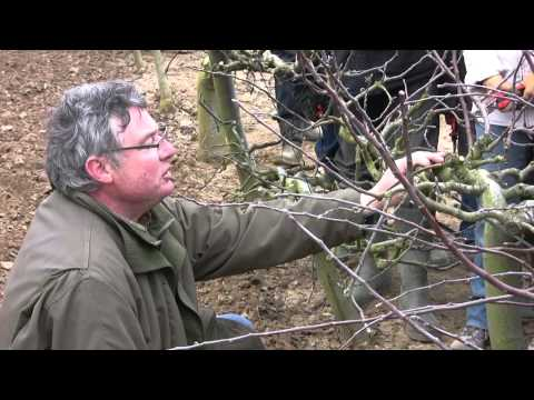 Comment tailler un abricotier un cerisier un prunier - Tailler un pecher ...
