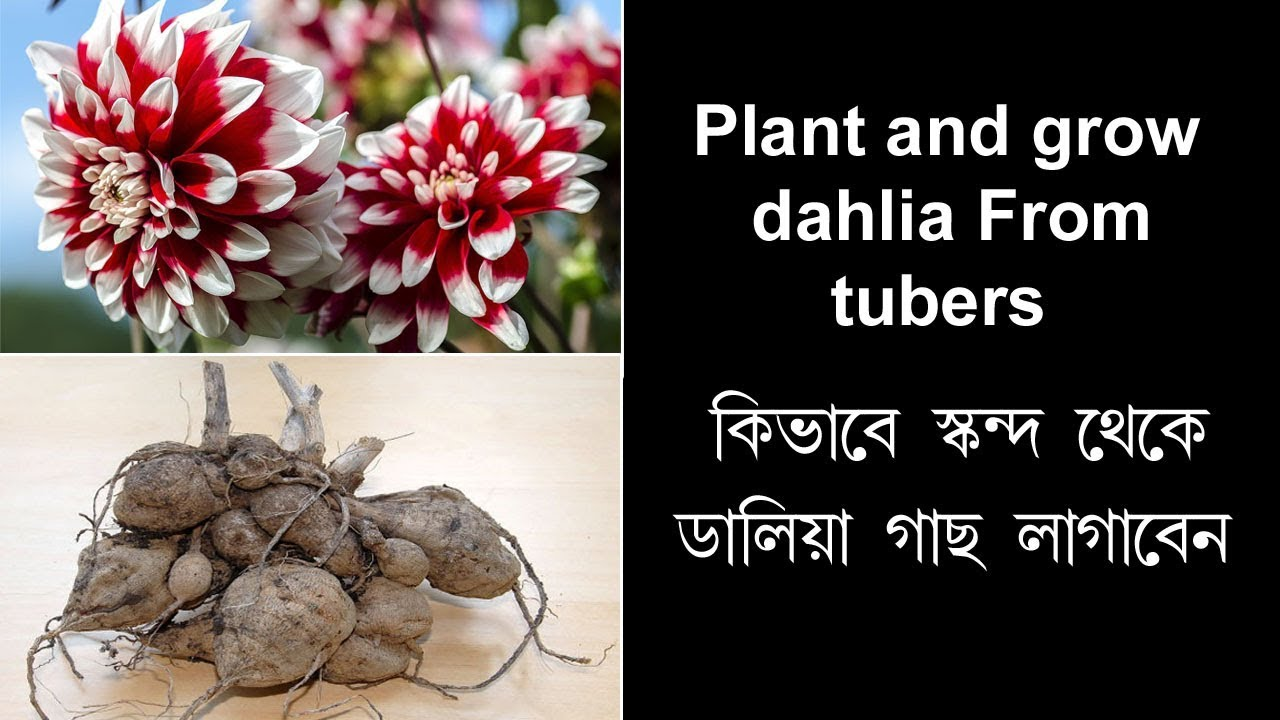 Dahlias, planting and care when grown from tubers