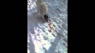 Crazy Yorkshire Terrier Takes His Samoyed Girlfriend For A Walk In The Snow!