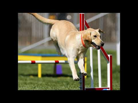 ***Potty Train *Labrador Retriever?**FREE Mini Course Here!***