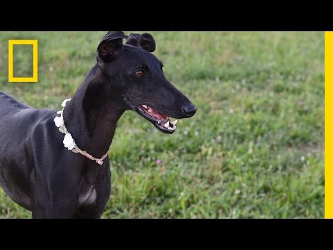 Spanish Greyhounds: Finding Loving Homes For Mistreated Dogs | National Geographic