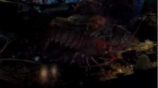 Monterey Bay Aquarium: California Spiny Lobsters