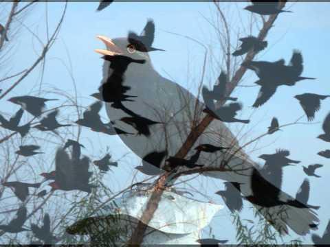 Blackbirds chirping - the relaxing sound of chirping birds