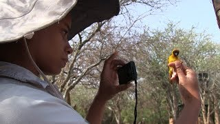 Vitelline masked weaver research at Mpala