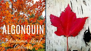 Fall Leaf Colors In Algonquin Provincial Park | Travel Vlog: Ontario, Canada Road Trip