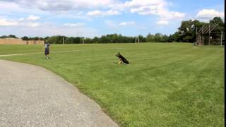 Caesar A 1 Yr Old German Shepherd Off Leash K9 Training Obedience With Distractions