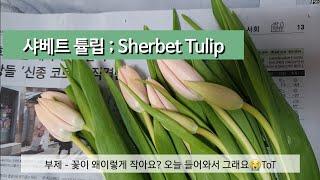 [무슨님] 샤베트 수입튤립 복숭아튤립/녹색몽우리도 제대…