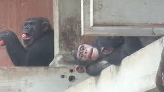 Chimpanzees Carrot's time ニンジンタイム チンパンジー家族 高いとこ...