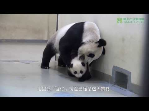 圓圓的育兒之道 Giant Panda Yuan Yuan's Parenting (English Subtitle Available)