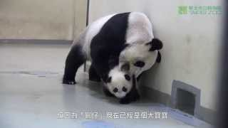 圓圓的育兒之道 Giant Panda Yuan Yuan Took Yuan Zai Baby Back To Bed