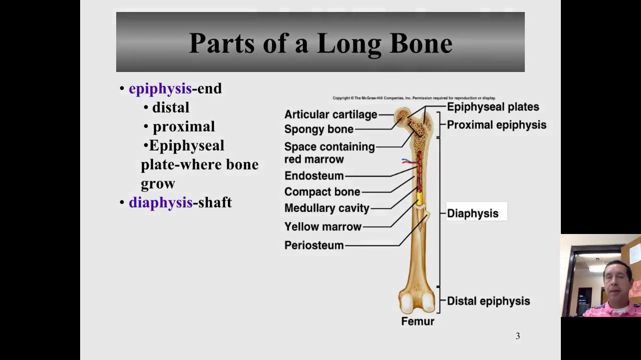 Macroscopic anatomy of a bone - YouTube