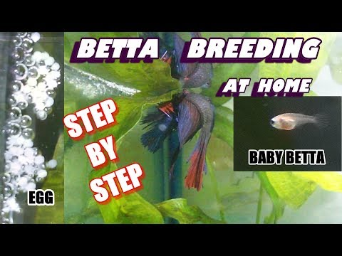 EASY BETTA BREEDING AT HOME :: STEP BY STEP GUIDE_ Betta egg & Fry Care