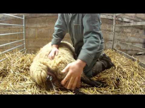 Lambing a Ewe - GoPro Hero