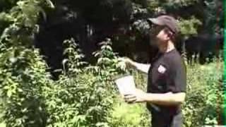 Japanese Beetle Getting Rid Of Them : Gardenfork.tv