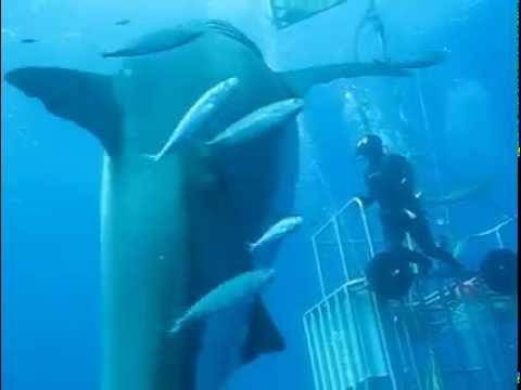 Deep Blue, le plus grand requin blanc jamais filmé