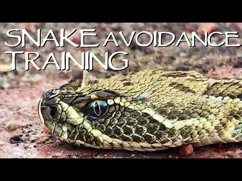 Rattlesnake Training For Dogs - You Ask We Answer