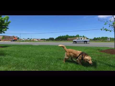 Tracking Dogs in Virginia | Virginia Dog Tracking Training | Golden Retriever, Finn
