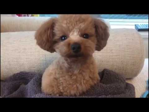 Minute Miles 24: Cutest Poodles in the World go for a walk!