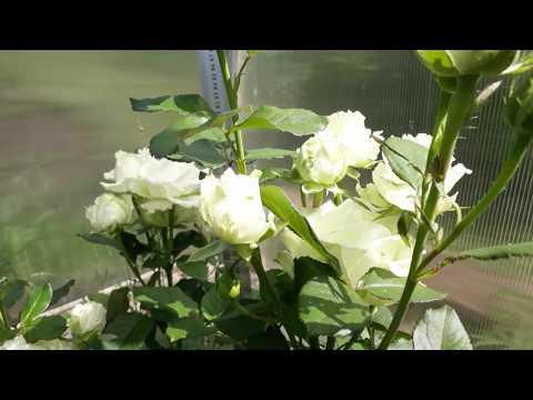 Чайно-гибридная роза Аваланж (лат. Rose Avalanche), выращенная в импровизированном розарии в теплице