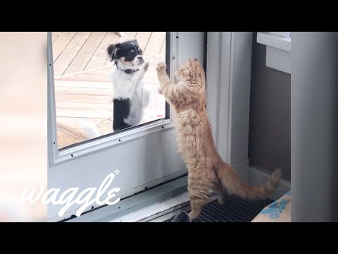 Cats Who Think They're Dogs | Funny Pet Videos
