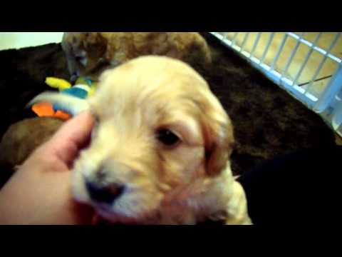 Fluffy Goldendoodle puppies playing at 4 weeks old