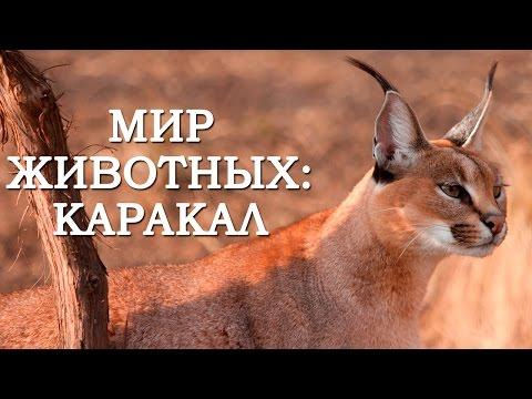 Мир Животных: Каракал