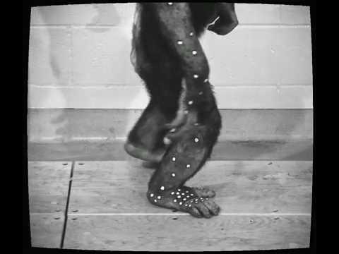 Chimpanzee Feet Allow Scientists a New Grasp on Human Foot Evolution  Pt 1.