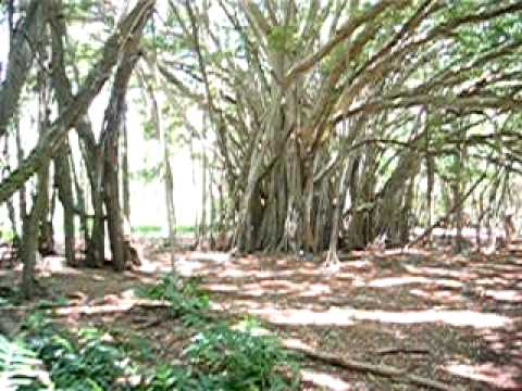 Discovering the banyan trees of ABC's tv show LOST
